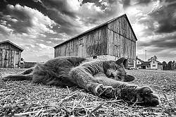 Cat laying on ground in barn yard