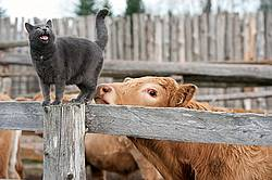 Barn cat on fence of cattle yard