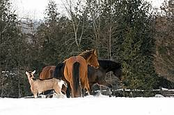 Group of horses and a goat outside in the snow