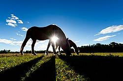 Horses grazing on summer pasture