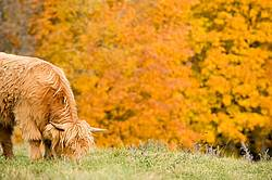 Yearling Highland Cattle on autumn pasture