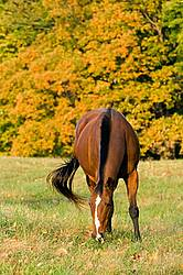 Horse grazing on autumn pasture