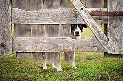 Farm dog looking through hole in wooden gate