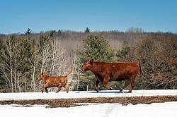 Cow and young calf running
