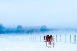Single Belgian draft horse walking alone in snowy field