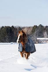 Belgian draft horse wearing a winter blanket