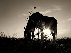 Backlit photo of horse grazing
