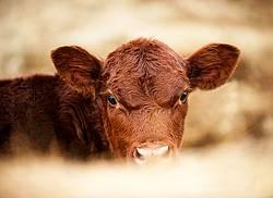 Photo of beef calf
