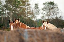 Three horse faces looking over a row of round bales of hay
