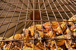 Corn crib full of corn