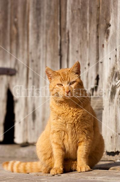 Orange barn cat