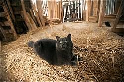 Gray barn cat
