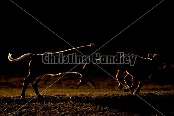 Running Calves