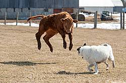 Young Beef Calf and Dog