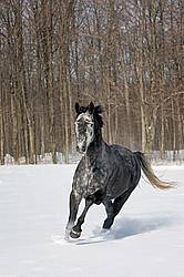 Hanoverian mare galloping through deep snow