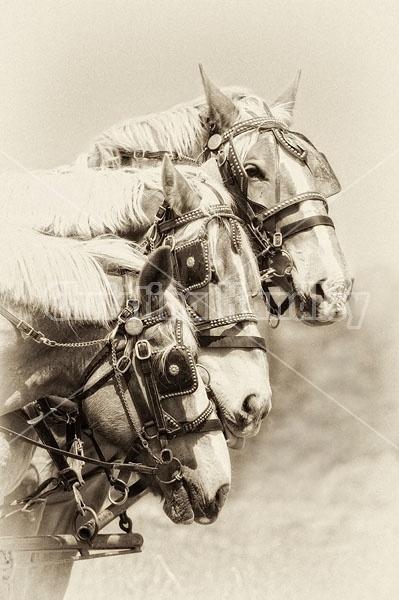 Three belgian work horses