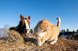 Orange barn cat and horse