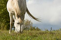 Gray horse grazing on late summer, early autumn pasture