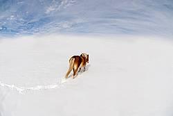 Belgian horse walking in deep snowy field with blue sky.