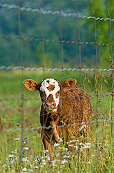Baby beef calf standing in a field of wild flowers