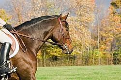 Bay horse in english bridle