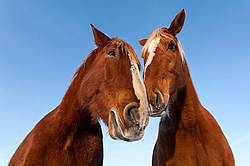 Two horses photographed from a very low angle against a bright blue sky