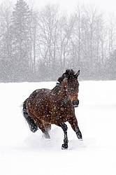 Bay horse galloping in deep snow