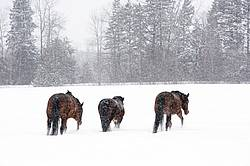 Three horses walking in deep snow