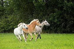 Three horses running and playing in a field