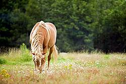 Horse Grazing on Summer Pasture