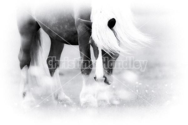 Belgian draft horse standing in field