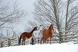Three horses standing in snowy paddock