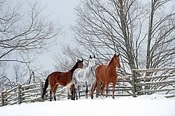 Three horses standing in snowy paddock