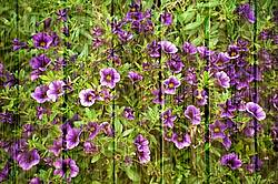 Petunias on barn board