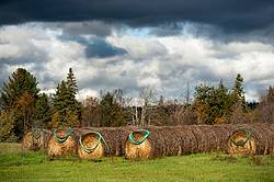 Garden hoses hanging on round bales of hay