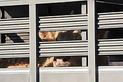 Charolais bull inside stock trailer