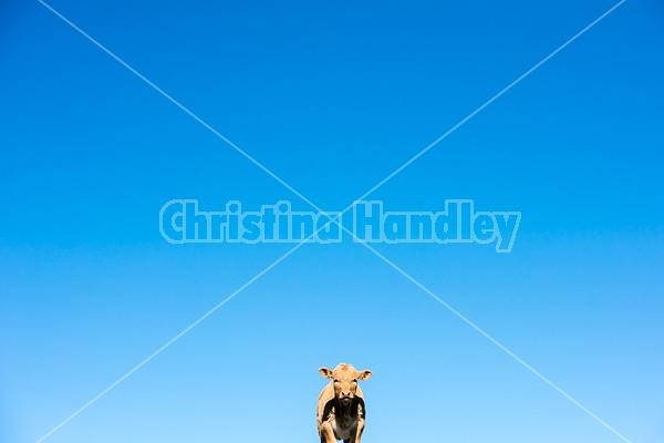 Young Charolais cross beef calf