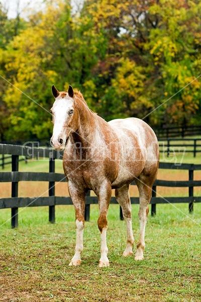 Portrait of Appaloosa horse standing in field