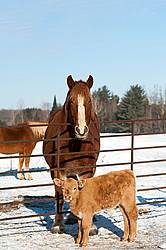 Baby Beef Calves and a Belgian Draft Horse