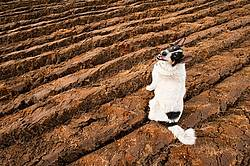Farm dog in newly plowed field