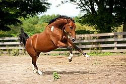 Paint horse galloping around paddock