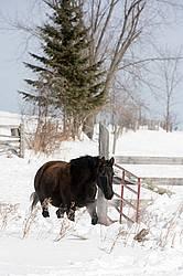 Bay horse walking in deep snow
