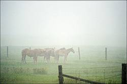 Group of four belgian draft horses standing in the rain