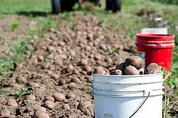 Digging potatoes on a small family farm