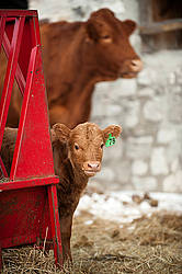 Young baby beef calf standing beside hay feeder
