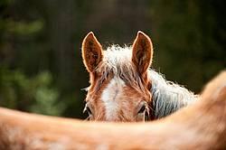 Young Belgian Horse