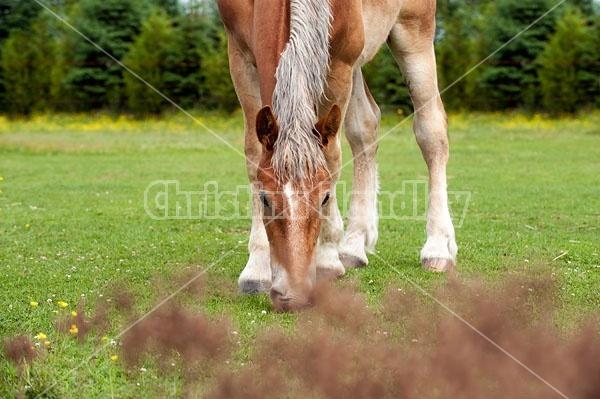Young Belgian draft horse