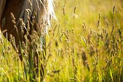 Horse face in tall grass