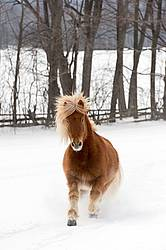 Chestnut Icelandic horse running through deep snow. Ontario Canada