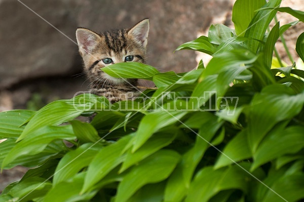 Young baby calico kitten playing in flower garden